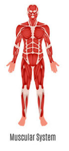 Human Body medical diagram of our muscular system